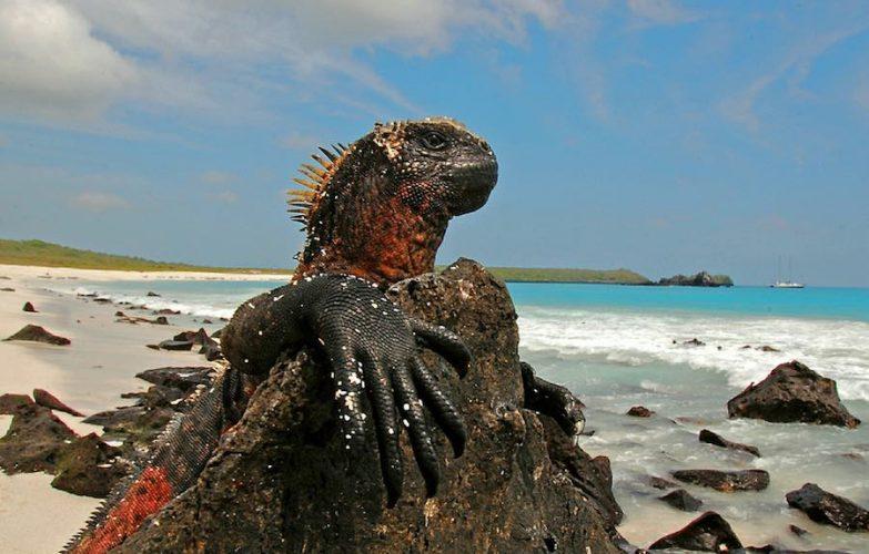 Iguanas terrestres y marinas