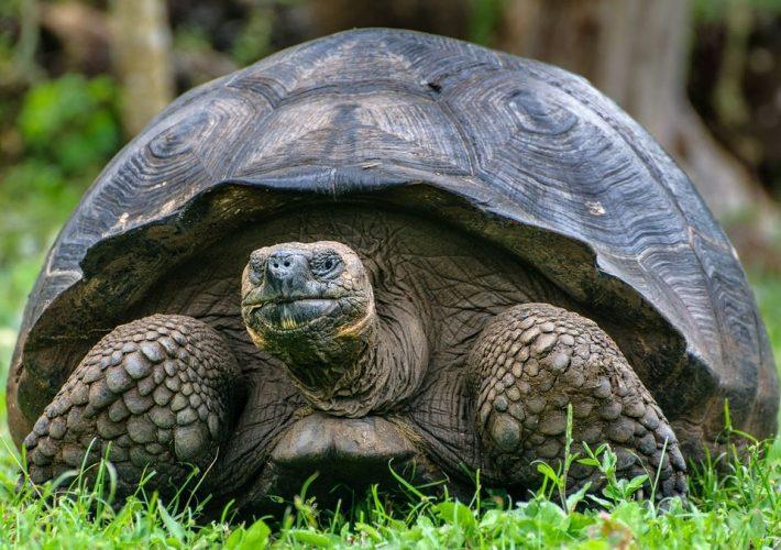 Tortugas terrestres de Galápagos