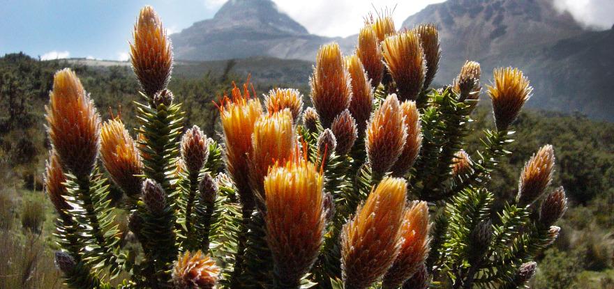 Flora en la provincia de Chimborazo